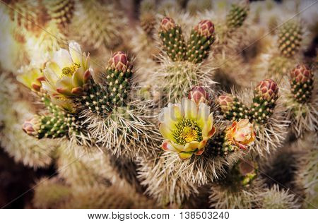 Blooming Cholla Cactus in Nelson Ghost Town southern Nevada USA