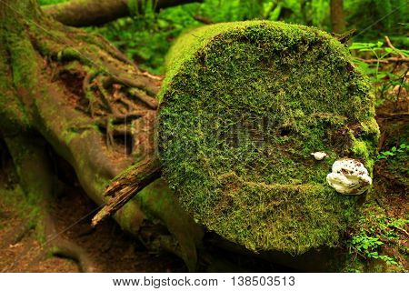 a picture of an exterior Pacific Northwest forest of fungi and mossy conifer log