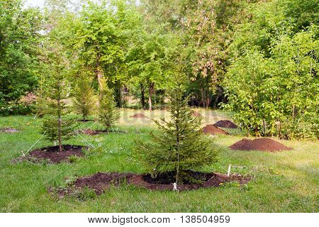Young fir growing in the park. The concept of protection of nature and forests.