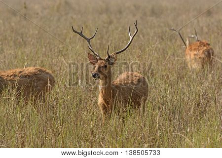 Spotted Deer in the Grasslands on Kanha National Park in India