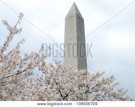 Cherry Blossoms and Washington Monument in Washington DC
