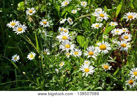 Summer field of white daisies. Beautiful landscape with daisies in the sunlight. White flowers in the meadow.