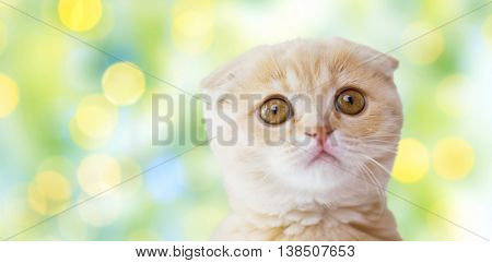 pets, animals and cats concept - close up of scottish fold kitten over summer green lights background