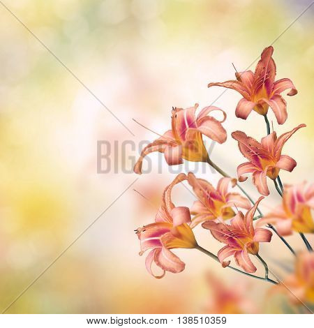 Blossom of Orange Lily Flowers