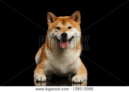 pedigreed Shiba inu Dog Lying and Smiling, Looks Curious on Isolated Black Background, Front view
