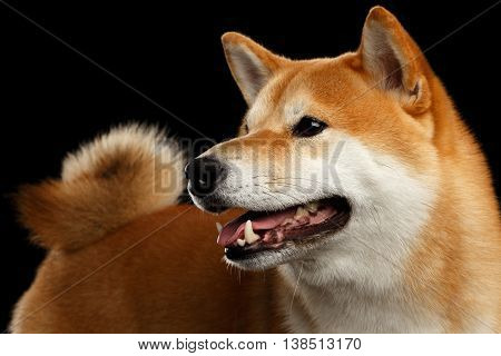 Close-up pedigreed Shiba inu Dog Smiling and Looks Curious on Isolated Black Background, view with Tail