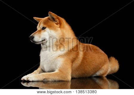 Pedigreed Shiba inu Dog Lying, Looks closely on Isolated Black Background, Side view