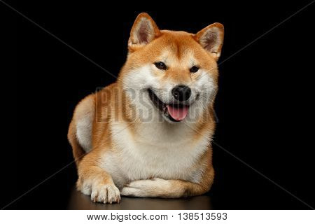 Funny pedigreed Shiba inu Dog Lying and Smiling, Looks Curious on Isolated Black Background, Front view