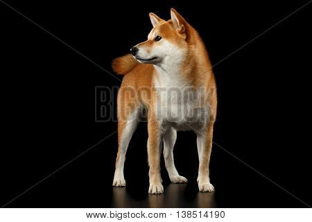 Cute pedigreed Red Shiba inu Breed Dog Standing and Looks Curious on Isolated Black Background, Front view