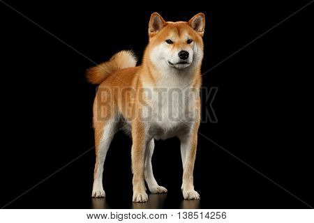 Cute pedigreed Red Shiba inu Breed Dog Standing on Isolated Black Background, Front view