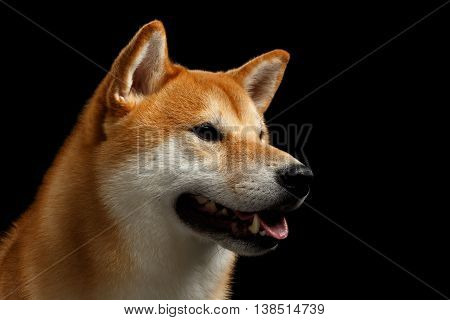 Close-up Portrait of head Shiba inu Dog, Looks closely and smiling, Isolated Black Background, Profile view