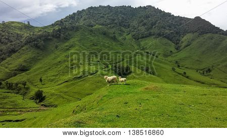 Woolly Sheep on Top of Rolling Green Hills