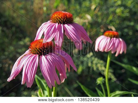 Beautiful purple coneflower on a natural background