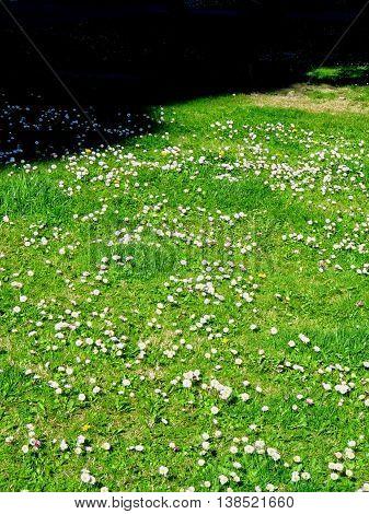 Campo de margaritas Primavera  Luz y sombra.