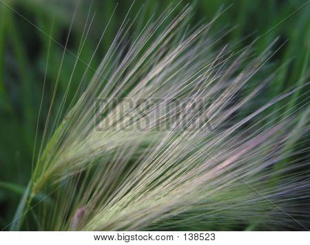 Foxtail Barley Weed Close-Up
