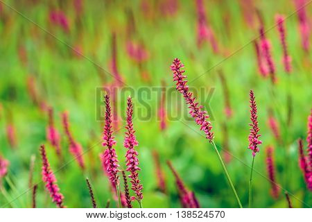 Closeup of red blossoming Persicaria amplexicaulis or mountain fleece plants on a sunny day in summertime.