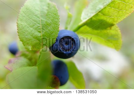 Blueberry drug on branch in the forest, medicinal berry blueberries to improve vision. Vitamins in natural form in nature. Picking berries in the summer. In medicine uses the leaves of bilberry.