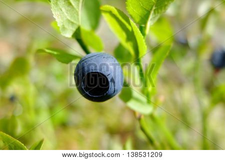 Blueberry drug on a branch in the forest. Wild edible berries. Blueberries to improve vision. Vitamins in natural form in nature. Picking berries in the summer. In medicine uses berries and leaves.