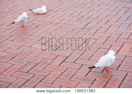 Three silver gulls are on the brick floor at the park