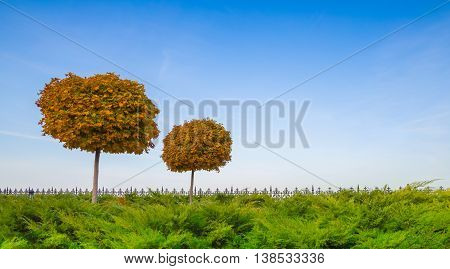 Autumn maple trees in the park on a background of blue sky. Trees neatly trimmed. The leaves have not yet fallen down.