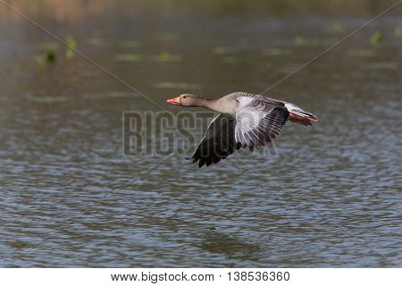Grey goose (anser anser) flying in natural environment with water