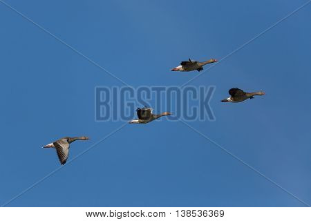 several grey gooses (anser anser) flying in natural environment in blue sky