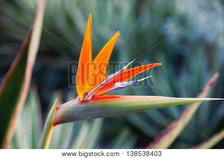 Close up photo of Strelitzia. Natural background with colorful flower.