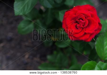 Single big red rose in garden top view selective focus