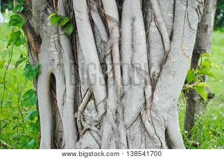 Bodhi tree root background,Sacred Fig Tree, Pipal Tree