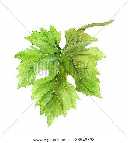 Grape leaf of vine. Watercolor botanical illustration