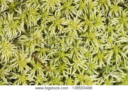 Light green moss texture or background macro selective focus shallow DOF