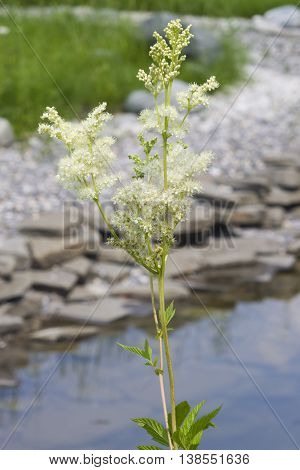 Meadowsweet or mead wort Filipendula ulmaria blossom near small pond with bokeh background close-up selective focus shallow DOF