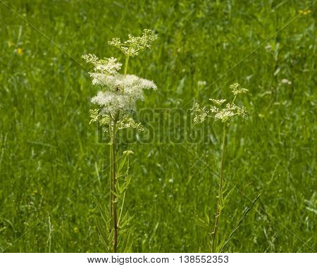 Meadowsweet or mead wort Filipendula ulmaria blossom in weed close-up selective focus shallow DOF