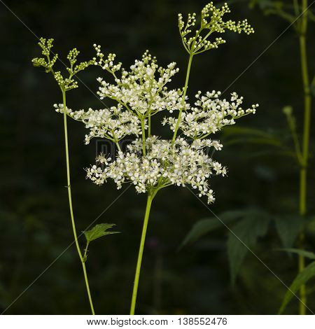 Meadowsweet or mead wort Filipendula ulmaria blossom in woods with dark bokeh background close-up selective focus shallow DOF
