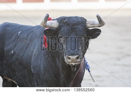 Bull about 650 Kg in the sand Spain