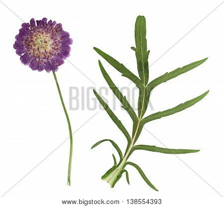 Pressed and dried flowers knautia with green leaves. Isolated on white background. For use in scrapbooking floristry (oshibana) or herbarium.