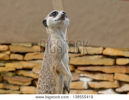 Watchful Meerkats outside. Boryszew, Poland - May 3, 2016 Young male Meerkats observation in a standing position on his catwalk in a zoo in Boryszew ..
