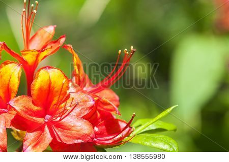 Red rhododendron flower blooming in the spring