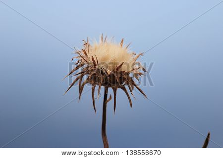 flower of the cardus marianus thistle Silybum marianum