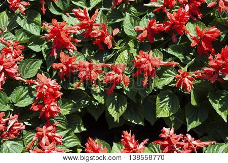 Background of Red Summer Flowers with Green Leaves