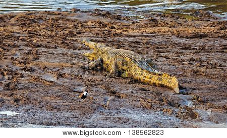 Nile Crocodile crawling in muddy river bed