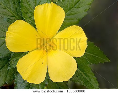 Thailand : Sage Rose is yellow flower for background and all