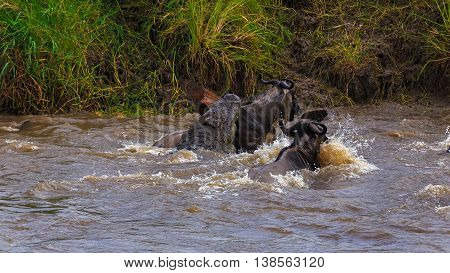 Crocodile Hunting Wildebeest during migration in Seregenti