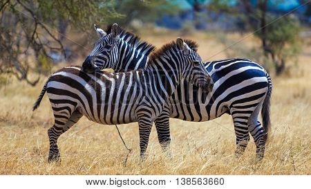 Zebra Pair with beautiful stripes in Seronara Tanzania