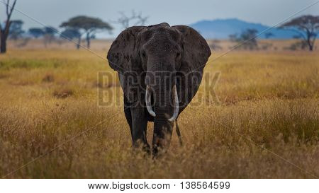 African Bush Elephant in charging mode Serengeti