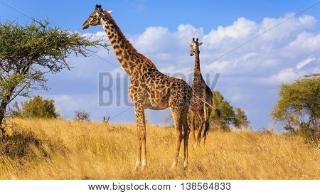 Giraffe Pair in Savannah grass Serengeti Tanzania