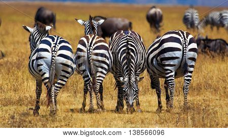 Zebra grazing in line at Serengeti Tanzania