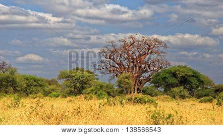 Tree of Life - African Baobab Tree in dry season