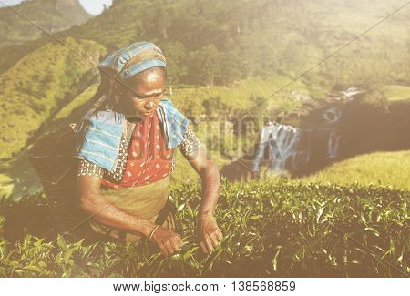 Indigenous Sri Lankan Tea Picker Picking Tea Concept