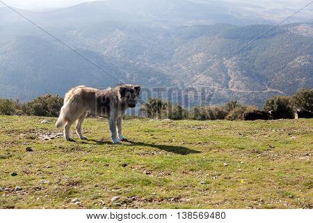 Sheepdog guarding flock of sheep in Greek mountain